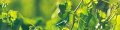 Riverina produces 65% of NSW wine-grape harvest